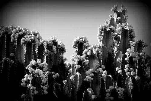 juoda ir balta,kaktusas,dygliuotas kriaušes,Tenerifė,augalas,gamta,dygliuotas,sultingas