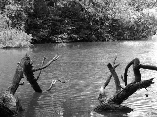 juoda ir balta,juoda ir balta nuotrauka,mediena,vanduo,bach root,bankas,medžiai,šlapias
