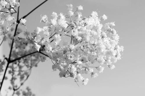 gėlės, gėlė, augalai, gamta, makro, fonas, sezonas, dovanos, meilė, Valentino diena, juoda, balta, apdaila, ornamentas, Vestuvės, grožis, natūralus, atspindys, rinkėjas, jubiliejus, juodos ir baltos gėlės