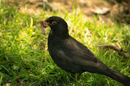 juoda paukštis,kirminas,valgymas,maistas,paukštis,juoda,gyvūnas,gamta,sparnas,laukinė gamta,snapas,laukiniai,plunksna,vienas,maitinimas,paukštis,plunksnos,dykuma