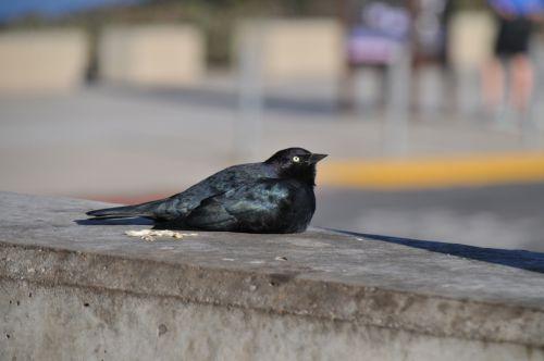 paukštis, paukščiai, juoda & nbsp, paukštis, sėdi, gamta, laukinis & nbsp, gyvenimas, juoda, juoda paukštis