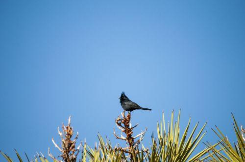 paukštis, paukščiai, juoda & nbsp, paukštis, dykuma, kaktusas, kaktusai, laukinė gamta, Laisvas, viešasis & nbsp, domenas, juoda paukštis ant kaktuso