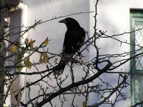 paukštis, juoda paukštis, speniai, medis, žiema, juoda paukštis