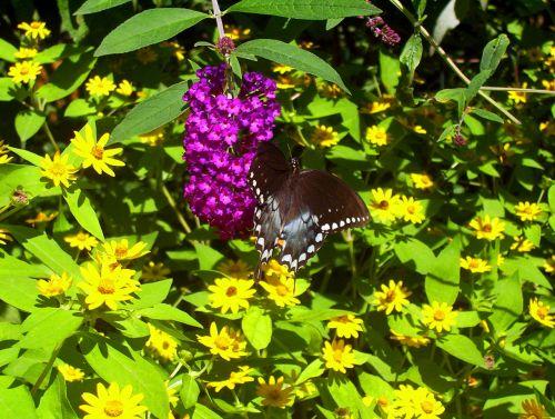 juoda, drugelis, rožinis, gėlės, vasara, juodas drugelis ant gėlių