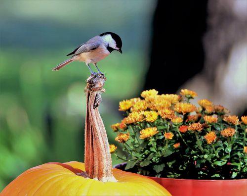 gamta, laukinė gamta, gyvūnai, paukščiai, Chickadee, juodos spalvos, pilka & nbsp, paukštis, sėdi, sustingęs, moliūgas, stiebas, žiūri, gėlė & nbsp, puodą, gėlės, kritimo & nbsp, gėlės, geltonos spalvos & nbsp, gėlės, geltonos & nbsp, chrizantemos, mums, juodos spalvos chickadee ant moliūgų