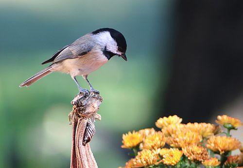 gamta, laukinė gamta, gyvūnai, paukščiai, Chickadee, juodos spalvos, Iš arti, pilka & nbsp, paukštis, sėdi, sustingęs, moliūgas, stiebas, žiūri, gėlės, kritimo & nbsp, gėlės, geltonos spalvos & nbsp, gėlės, geltonos & nbsp, chrizantemos, mums, juodos spalvos chickadee ant stiebo