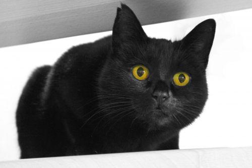 katė, juoda, portretas, vidaus, trumpi & nbsp, plaukai, naminis gyvūnėlis, kačių, kačiukas, Uždaryti, sėdi, žiūri, pasviręs, žvilgsnis, viešasis & nbsp, domenas, fonas, tapetai, uždaryti & nbsp, juodas katinas