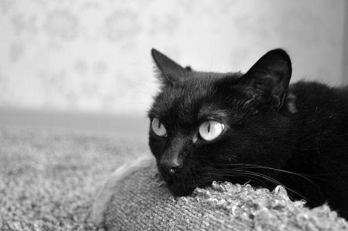 juoda katė,subraižyti įrašai,naminis gyvūnėlis,juoda,pūkuotas,kailis,gyvūnas,snukio katė,Peržiūros,katė,kačių sapnai,katė yra,tingus katinas,katė poilsio,katė miega,Uždaryti,sąmoningas,jaunas katinas,housecat,katė ieško,graži katė,vaizdas,miega katė,kačiukas,namai,Iš arti,mielas,gyvūnai,kačių akys