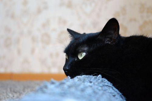 juoda katė,subraižyti įrašai,Peržiūros,katė,kačių sapnai,katė yra,naminis gyvūnėlis,juoda,pūkuotas,kailis,gyvūnas,snukio katė,tingus katinas,katė poilsio,katė miega,Uždaryti,sąmoningas,jaunas katinas,housecat,katė ieško,graži katė,vaizdas,miega katė,kačiukas,namai,Iš arti,mielas,gyvūnai,kačių akys