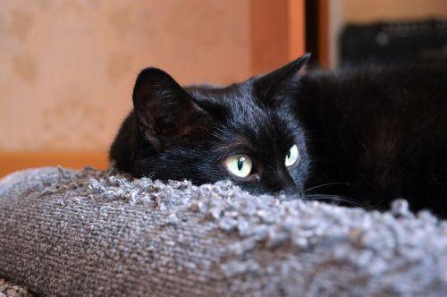juoda katė,subraižyti įrašai,katė ieško,katė,kačių sapnai,katė yra,naminis gyvūnėlis,juoda,suinteresuotas,pūkuotas,kailis,gyvūnas,snukio katė,tingus katinas,katė poilsio,Peržiūros,katė miega,Uždaryti,sąmoningas,jaunas katinas,housecat,graži katė,vaizdas,miega katė,kačiukas,namai,Iš arti,mielas,gyvūnai,kačių akys