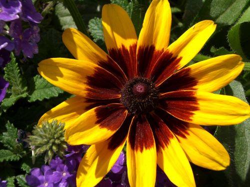 juodakakis susanas,geltona ramunė,Daisy,raudonų akių daisy,rudbeckia,gloriosa daisy,gimtoji