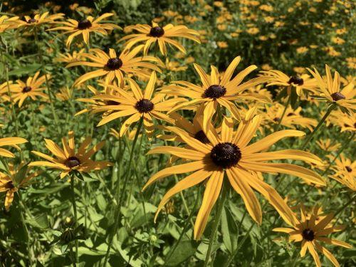 juodakakis susanas,gėlė,žiedas,geltona
