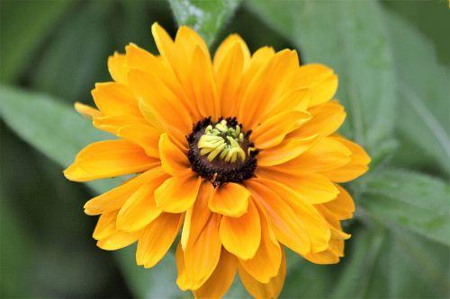 gamta, augalai, gėlės, geltona & nbsp, gėlė, vasara & nbsp, gėlė, geltonos spalvos & nbsp, žiedlapiai, juodaodis & nbsp, susan, žalios spalvos & nbsp, lapai, Iš arti, makro, juodos spalvos susan gėlė