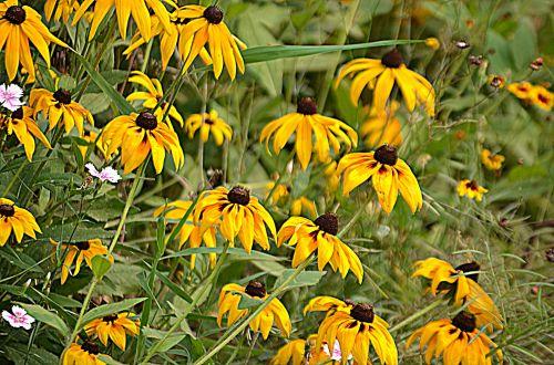 gėlė, gėlės, juodos spalvos & nbsp, susans, rudbeckia & nbsp, hirta, daugiametis, juodos akys susans