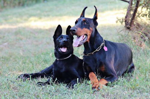 juoda vokiečių aviganis,Dobermanas,guli,meilė,Draugystė,šuo