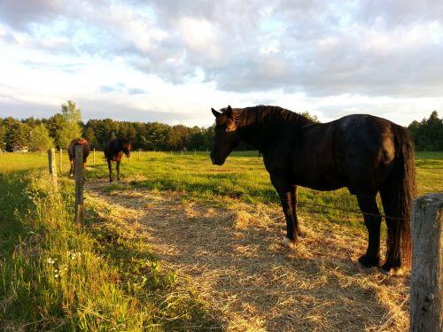 arklys, arklys, Jodinėjimas, gyvūnas, ramus, atsipalaiduoti, juodas arklys