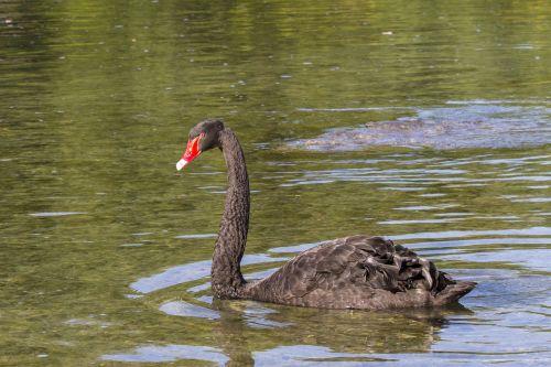 juoda gulbė,gedulo gulbė,gulbė,vandens paukštis,gulbės,rūšis,schwimmvogel,ežeras