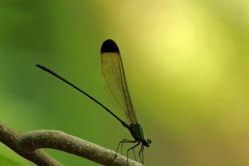 juodoji miško šlovė,vestalis apicalis,juodos spalvos,miško šlovė,lazda,žalia lazda,žalias,šlovė,vyriška lazda,Patinas,vabzdys,lauke,vienas,sparnas,laukiniai,gamta,spalvinga,natūralus,geltona
