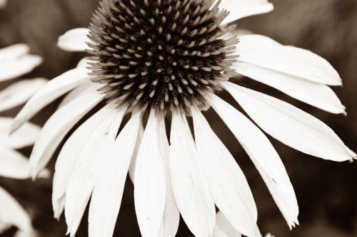 juoda balta,žiedas,žydėti,juoda ir balta,gėlė,balta,gamta,augalas,Uždaryti,juodos ir baltos spalvos įrašymas,gėlės fotografija,juoda ir balta nuotrauka,baltos gėlės