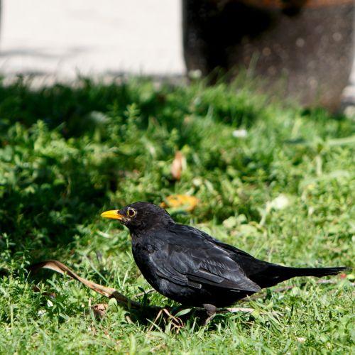 juoda paukštis, paukštis, Patinas, juoda, geltona, snapas, Iš arti, detalės, gyvūnas, gamta, laukiniai, žalias, žolė, stovintis, Laisvas, viešasis & nbsp, domenas, juodasis paukštis