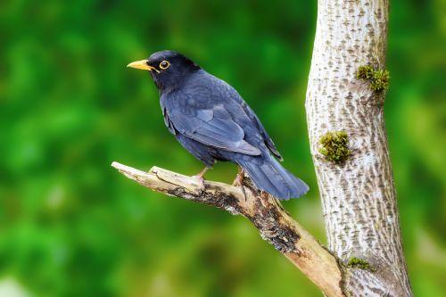 juoda paukštis, paukštis, medis, sustingęs, filialas, gyvūnas, gamta, Uždaryti, snapas, žalias, plunksnos, detalės, paukštis, Laisvas, viešasis & nbsp, domenas, juodasis paukštis