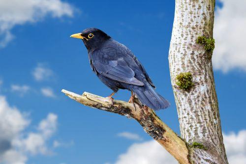 juoda paukštis, paukštis, gyvūnas, gamta, medis, filialas, dangus, Uždaryti, detalės, Laisvas, viešasis & nbsp, domenas, juodasis paukštis