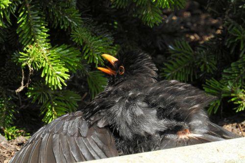 juoda paukštis,juodasis paukštis,paukštis,juoda,karštas,Hächelnd