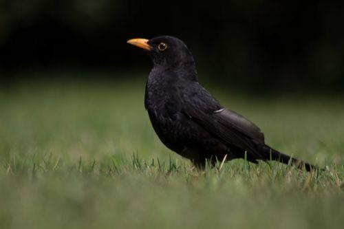 juoda paukštis,paukštis,gyvūnas,juoda,giesmininkas,žolė,paukščiai,vasara