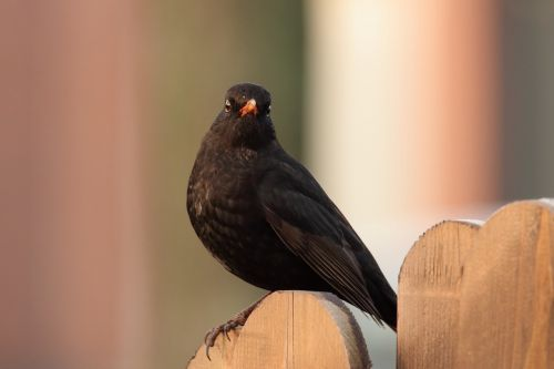 juoda paukštis,paukštis,juoda,giesmininkas,juodasis paukštis,gamta