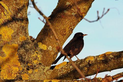 juoda paukštis,giesmininkas,paukštis,gamta,juoda,žiema,plumėjimas,juodasis paukštis