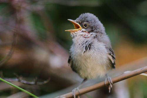 juoda paukštis,paukštis,sodas,giesmininkas,gamta,gyvūnas,pavasaris,plumėjimas,juodoji paukštis,geltonas snapas,Uždaryti,juodasis paukštis,dainuoti,sąskaitą,paukščiai