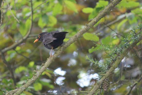 juoda paukštis,giesmininkas,paukštis,gamta,plumėjimas,sąskaitą,medis,gyvūnas,juoda,juoda paukštis,geltonas snapas,rūšis,vyrai,Uždaryti,juodasis paukštis,filialas,paslėpta,dainuoti