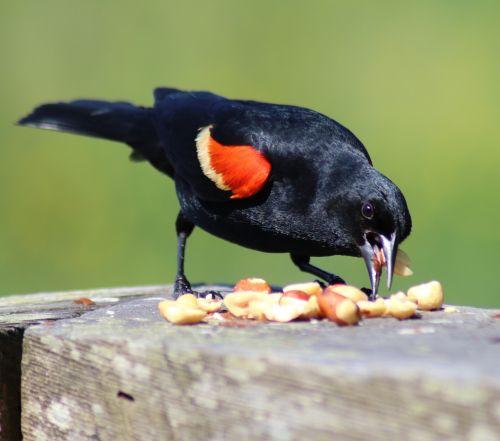 juoda paukštis,raudona,sparnas,paukštis,laukinė gamta,raudonieji sparnuotieji,gamta,sustingęs,sparnuotas,paukštis,juoda,Patinas,birding,paukščių stebėjimas