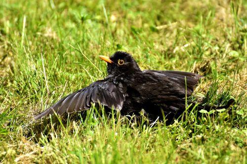 juoda paukštis,paukštis,juoda,poilsis,giesmininkas,gamta,gyvūnas,juodasis paukštis,juoda paukštis,plumėjimas,vasara,sąskaitą,Uždaryti