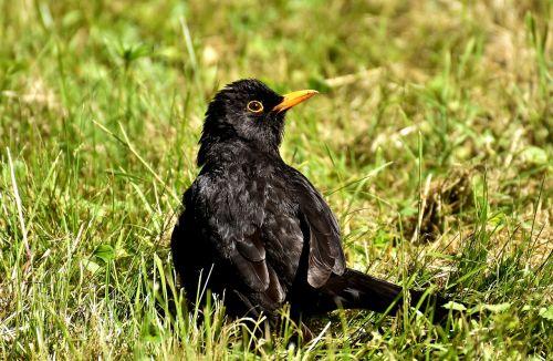 juoda paukštis,paukštis,juoda,giesmininkas,gamta,gyvūnas,juodasis paukštis,juoda paukštis,plumėjimas,vasara,sąskaitą,Uždaryti
