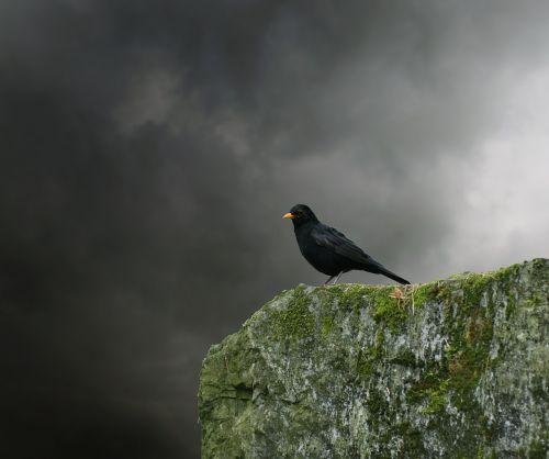 juoda paukštis,paukštis,giesmininkas,juoda,gyvūnas,paukščiai,juoda paukštis,plumėjimas,sodas,vasara,juodoji paukštis,sąskaitą,geltonas snapas,juodasis paukštis,dainuoti,Uždaryti