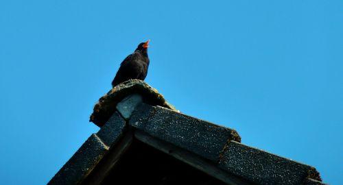 juoda paukštis,paukštis,dainuoti,giesmininkas,juoda,sąskaitą,gyvūnas,paukščiai,gamta,juoda paukštis,geltonas snapas
