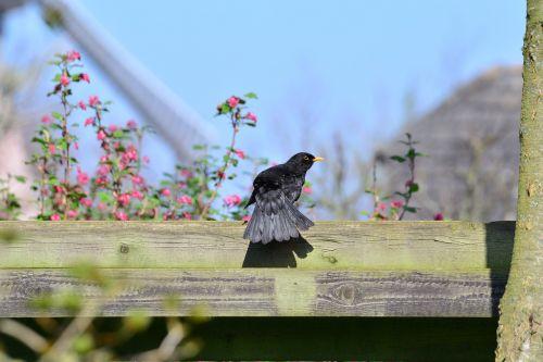 juoda paukštis,tiesa,akceleratorius,paukštis,juoda,gyvūnas,gamta,plumėjimas