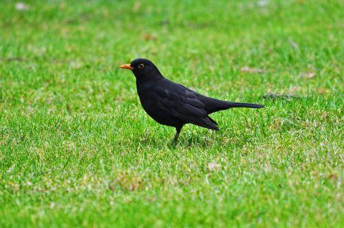 juoda paukštis, bendras juodasis paukštis, Eurazijos juodasis paukštis, gyvūnas, paukštis, giesmininkas, daina, be honoraro mokesčio