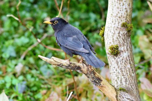 juoda paukštis, paukštis, giesmininkas, juoda, sąskaitą, plunksna, plumėjimas, juoda paukštis, pavasaris, gyvūnas, geltonas snapas, be honoraro mokesčio