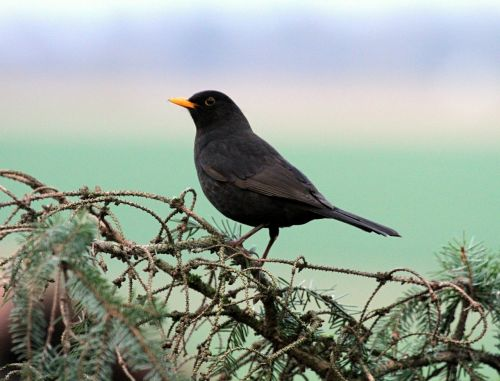 juoda paukštis,paukštis,juoda,gamta,plunksna,plumėjimas,laukinės gamtos fotografija,sąskaitą,rūšis,gyvūnai,juoda paukštis,dainuojamosios paukščių rūšys,paukštis filiale,skristi,giesmininkas