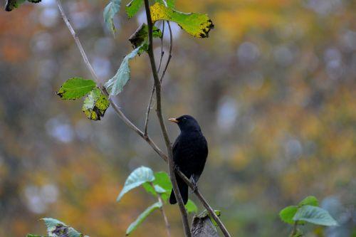 juoda paukštis,paukštis,gamta,juoda,gyvūnas,laukinės gamtos fotografija