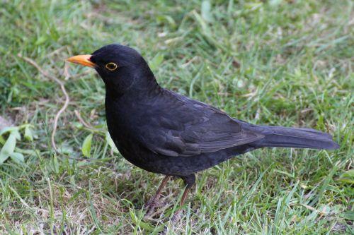 juoda paukštis, juoda paukštis, pieva, vasara, juoda, gamta, gyvūnas, giesmininkas, plumėjimas, žolė, plunksna, paukštis, sąskaitą