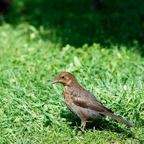 juoda paukštis, paukštis, Moteris, gražus, detalės, Iš arti, žalias, žolė, gyvūnas, gamta, Laisvas, viešasis & nbsp, domenas, juoda paukštis paukštis