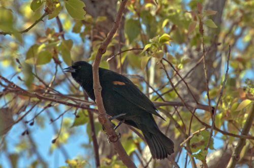 paukštis, paukščiai, juoda, juoda & nbsp, paukštis, juoda paukštis, laukinė gamta, lauke, gamta, medis, filialai, lapai, juoda paukštis medyje