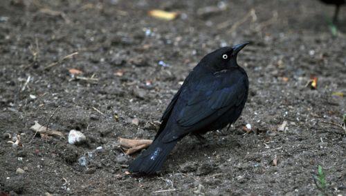 juoda paukštis, juoda & nbsp, paukštis, paukštis, juoda, plunksnos, juodasis paukštis ant žemės