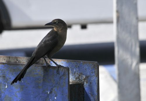 paukštis, paukščiai, juoda, juoda & nbsp, paukštis, juoda paukštis, laukinė gamta, lauke, gamta, sėdi, Juodoji paukštis vandens maišytuvas