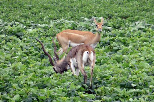 blackbuck,antilopė cervicapra,kankinti,antilopė,maitinimas,pasėlių,Karnataka,Indija