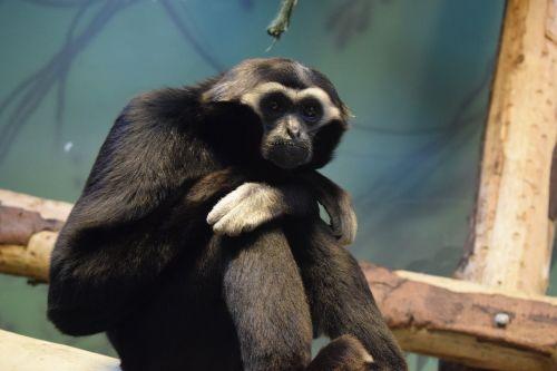 blackpool,Blackpool zoologijos sodas,beždžionė,primatas,žinduolis,gyvūnas,zoologijos sodas,gaubtas,plaukuotas,gamta