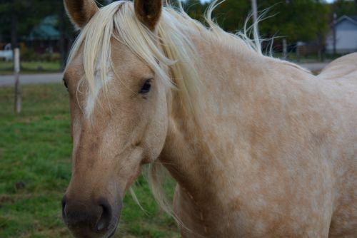 arklys, arkliai, gyvūnas, arklys, Jodinėjimas, jodinėjimas, ruduo, blondinis arklys